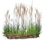 Cut out Wild Grass Bush Other Vegetation Calamagrostis Acutiflora 0002 | MrCutout.com