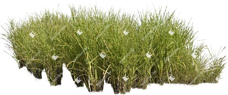 Cut out Wild Grass Calamagrostis Acutiflora 0001 preview