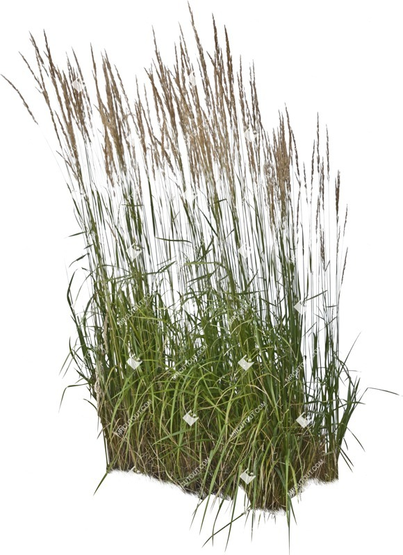 Cut out Wild Grass Calamagrostis Acutiflora 0002 preview