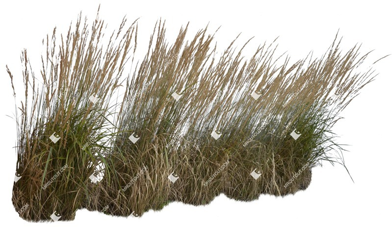 Cut out Wild Grass Calamagrostis Acutiflora 0004 preview