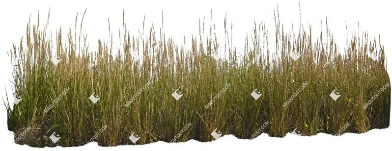 Cut out Wild Grass Calamagrostis Acutiflora 0006 preview