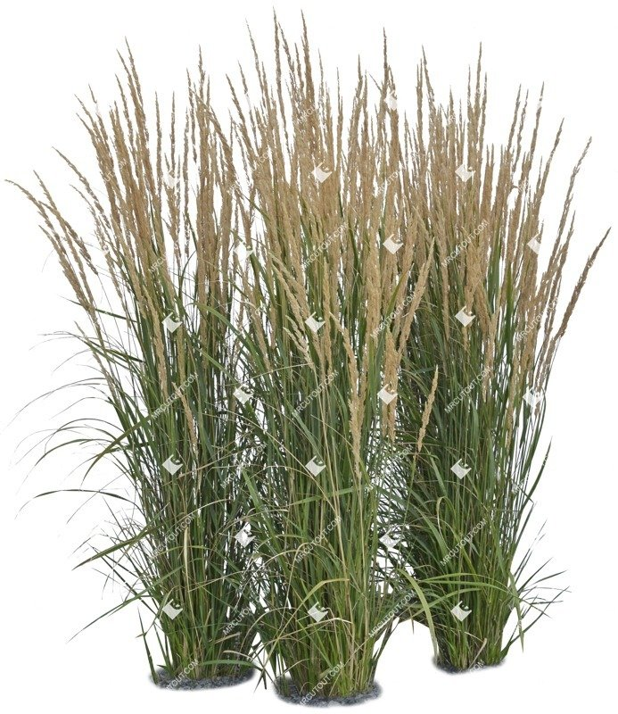 Cut out Wild Grass Calamagrostis Acutiflora 0007 preview