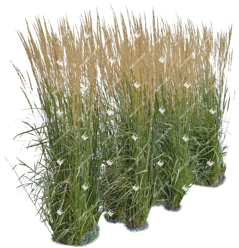 Cut out Wild Grass Calamagrostis Acutiflora 0009 preview