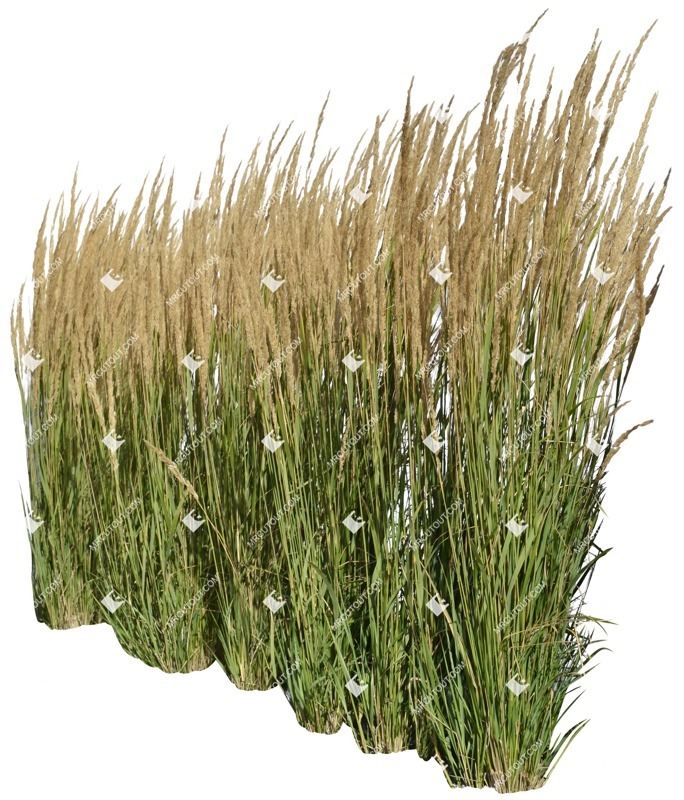 Cut out Wild Grass Calamagrostis Acutiflora 0010 preview