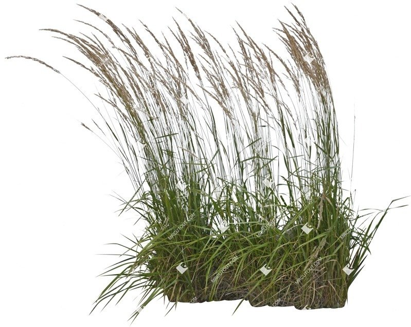 Cut out Wild Grass Calamagrostis Acutiflora 0012 preview