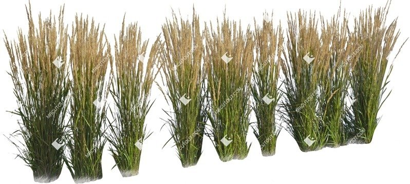 Cut out Wild Grass Calamagrostis Acutiflora 0013 preview