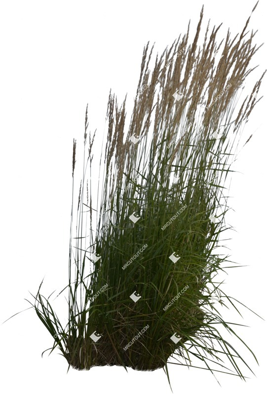 Cut out Wild Grass Calamagrostis Acutiflora 0015 preview