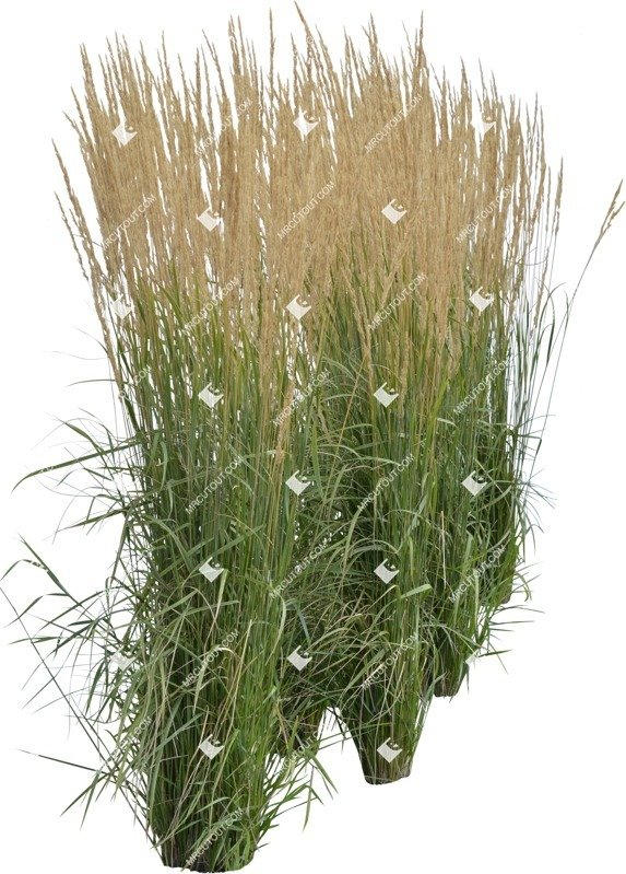 Cut out Wild Grass Calamagrostis Acutiflora 0016 preview