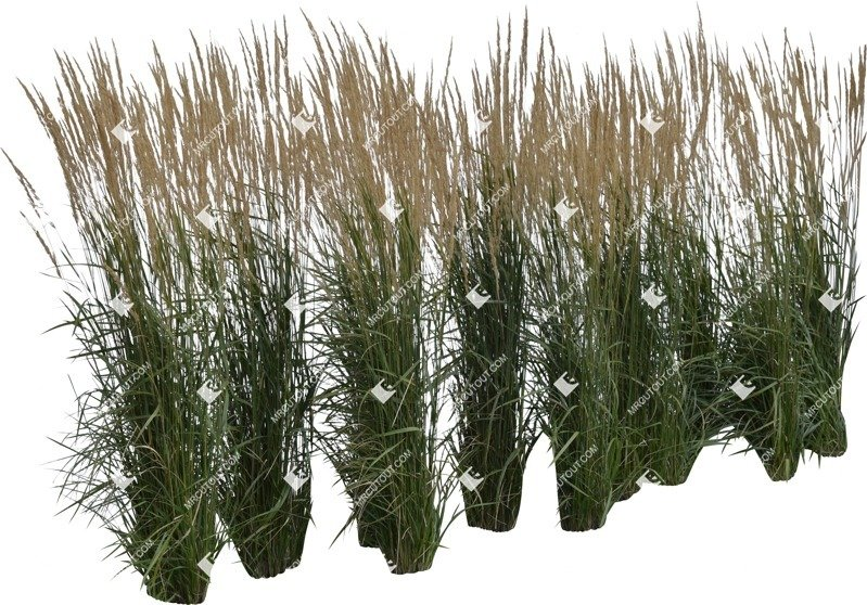 Cut out Wild Grass Calamagrostis Acutiflora 0017 preview