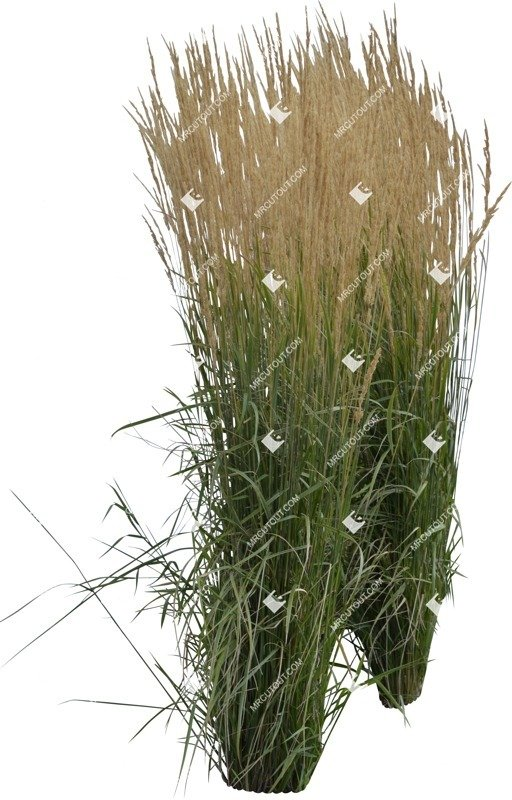 Cut out Wild Grass Calamagrostis Acutiflora 0019 preview