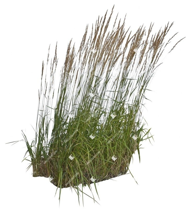 Cut out Wild Grass Calamagrostis Acutiflora 0020 preview