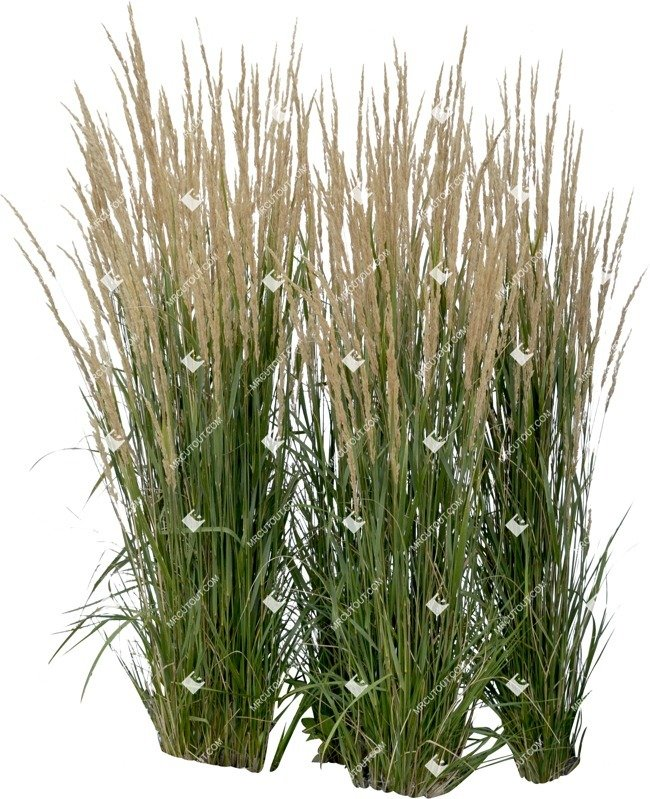 Cut out Wild Grass Calamagrostis Acutiflora 0023 preview