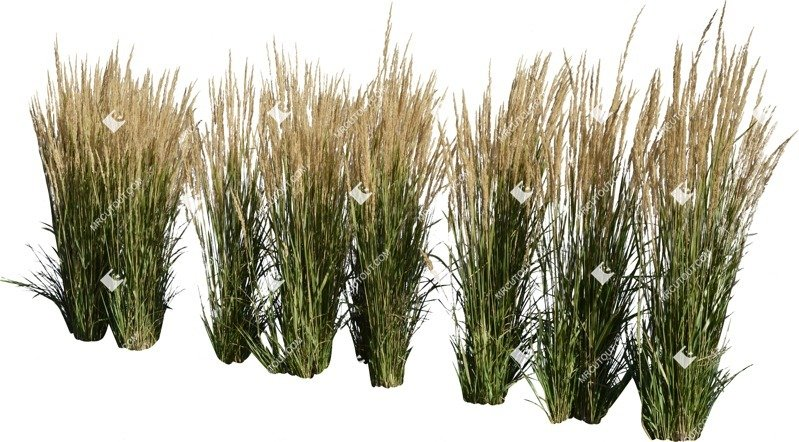 Cut out Wild Grass Calamagrostis Acutiflora 0024 preview