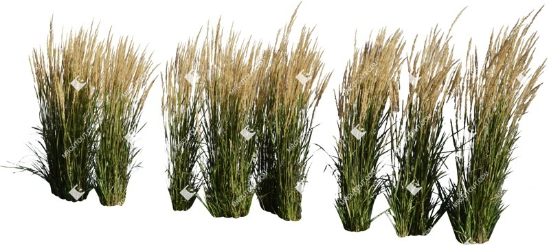 Cut out Wild Grass Calamagrostis Acutiflora 0025 preview
