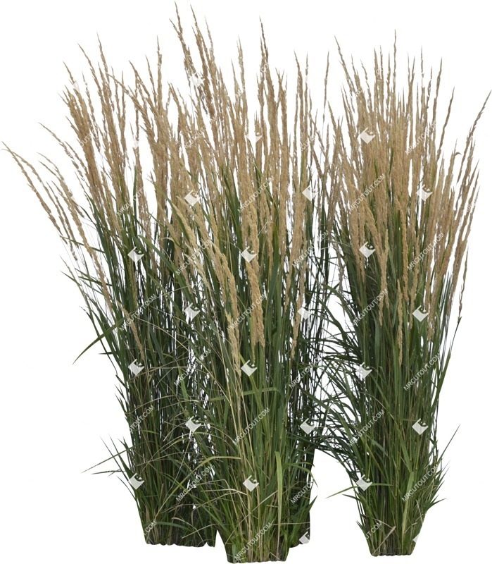 Cut out Wild Grass Calamagrostis Acutiflora 0026 preview