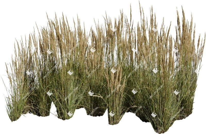 Cut out Wild Grass Calamagrostis Acutiflora 0029 preview