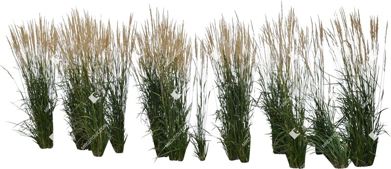 Cut out Wild Grass Calamagrostis Acutiflora 0030 preview