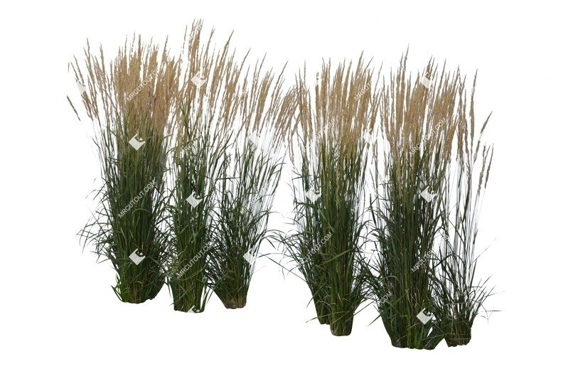 Cut out Wild Grass Calamagrostis Acutiflora 0031 preview