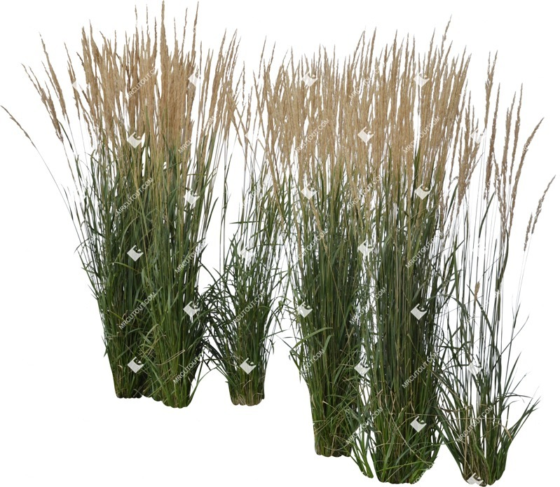 Cut out Wild Grass Calamagrostis Acutiflora 0032 preview
