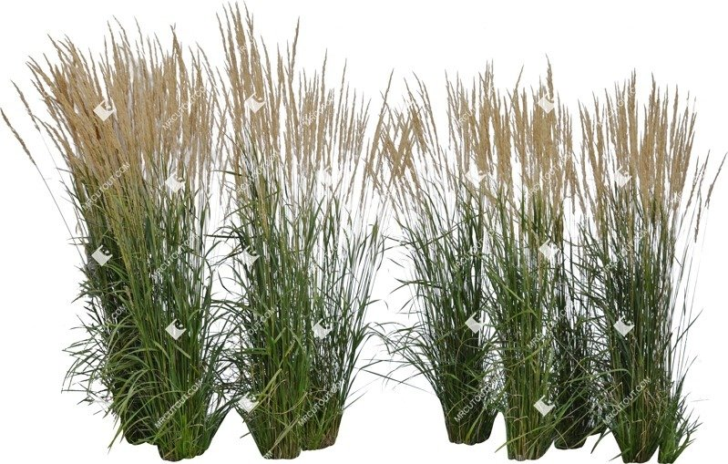 Cut out Wild Grass Calamagrostis Acutiflora 0033 preview
