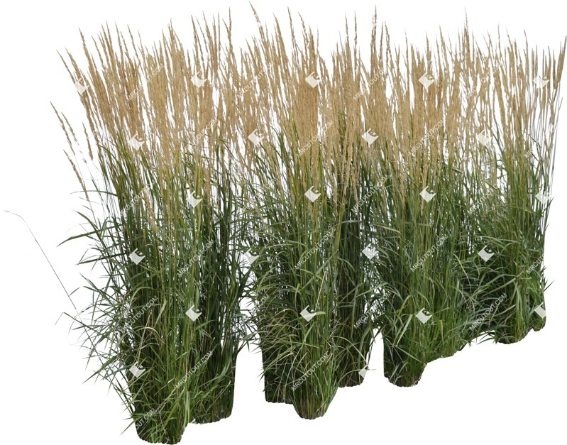 Cut out Wild Grass Calamagrostis Acutiflora 0034 preview