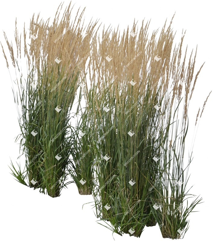 Cut out Wild Grass Calamagrostis Acutiflora 0037 preview