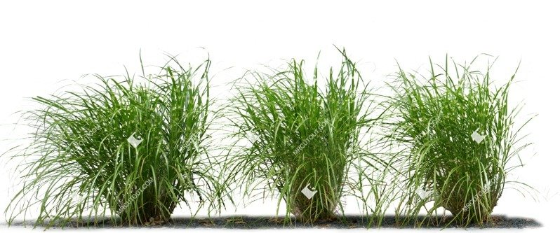 Cut out Wild Grass Miscanthus Sinesnsis Zebrinus 0001 preview
