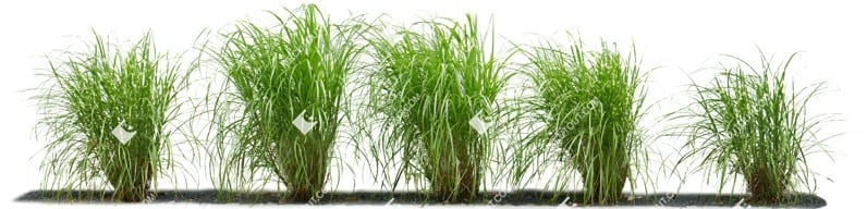 Cut out Wild Grass Miscanthus Sinesnsis Zebrinus 0002 preview