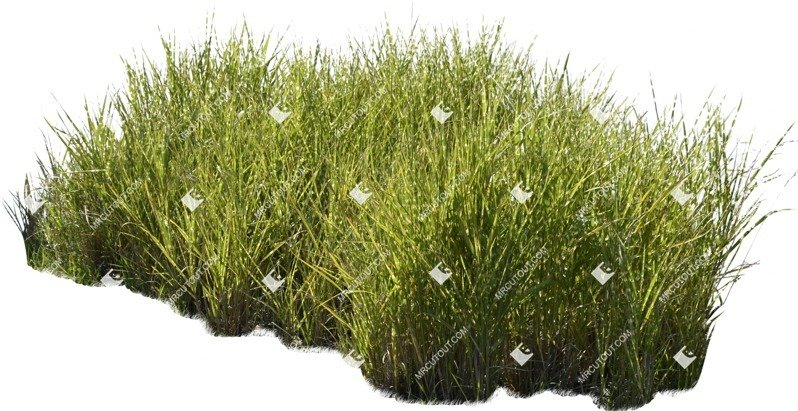 Cut out Wild Grass Miskanthus Sinesnsis Zebrinus 0001 preview