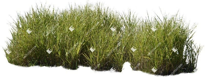 Cut out Wild Grass Miskanthus Sinesnsis Zebrinus 0002 preview