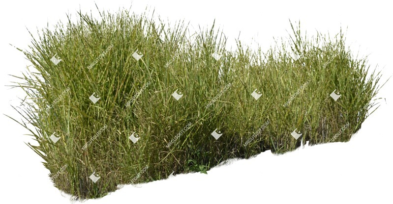 Cut out Wild Grass Miskanthus Sinesnsis Zebrinus 0003 preview