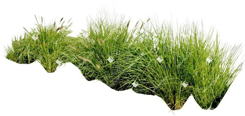 Cut out Wild Grass Miskanthus Sinesnsis Zebrinus 0006 preview