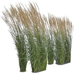 Cut out Wild Grass Other Vegetation Calamagrostis Acutiflora 0001 | MrCutout.com