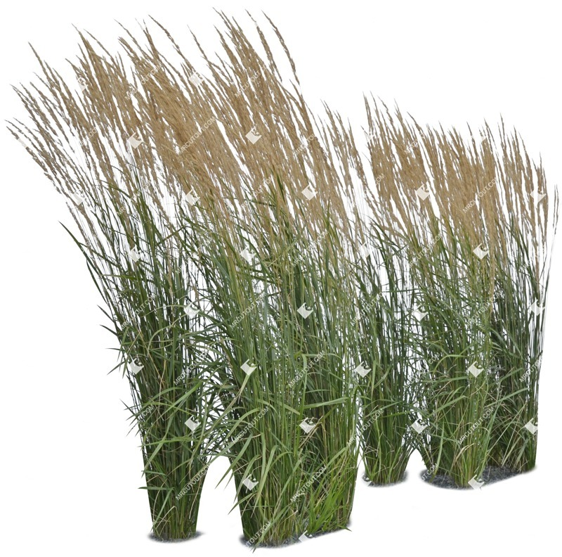 Cut out Wild Grass Other Vegetation Calamagrostis Acutiflora 0001 preview