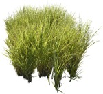 Cut out Wild Grass Other Vegetation Calamagrostis Acutiflora 0002 | MrCutout.com
