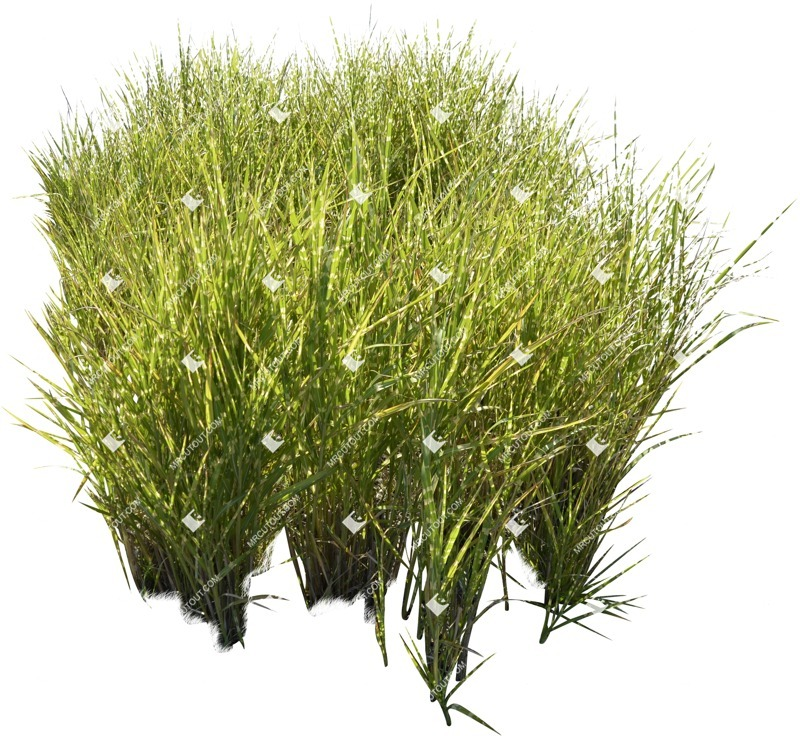 Cut out Wild Grass Other Vegetation Calamagrostis Acutiflora 0002 preview