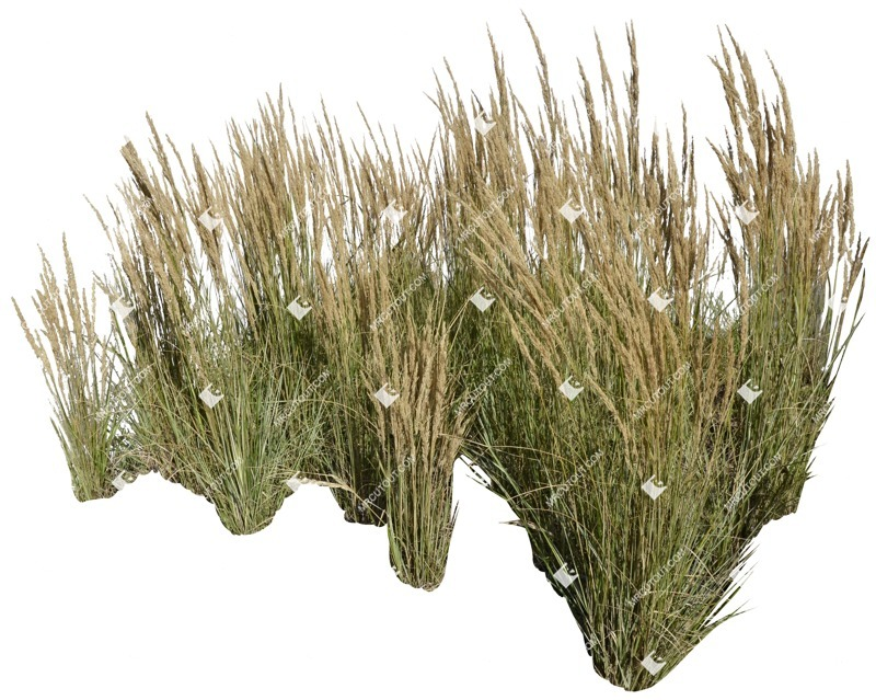 Cut out Wild Grass Other Vegetation Calamagrostis Acutiflora 0004 preview