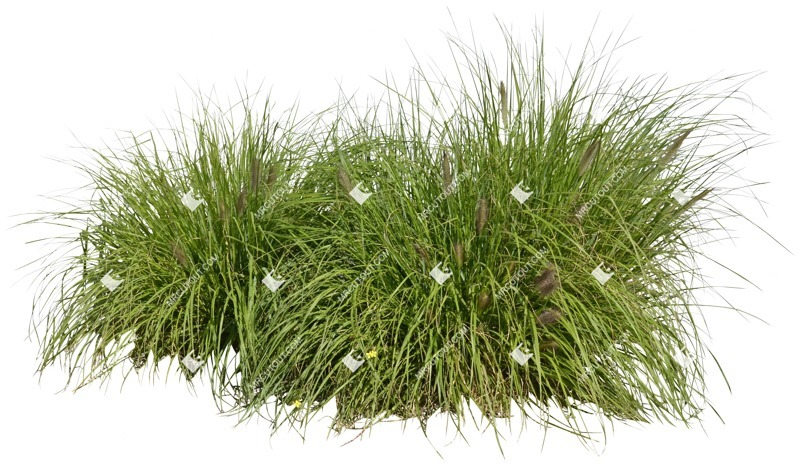 Cut out Wild Grass Other Vegetation Pennisetum 0002 preview